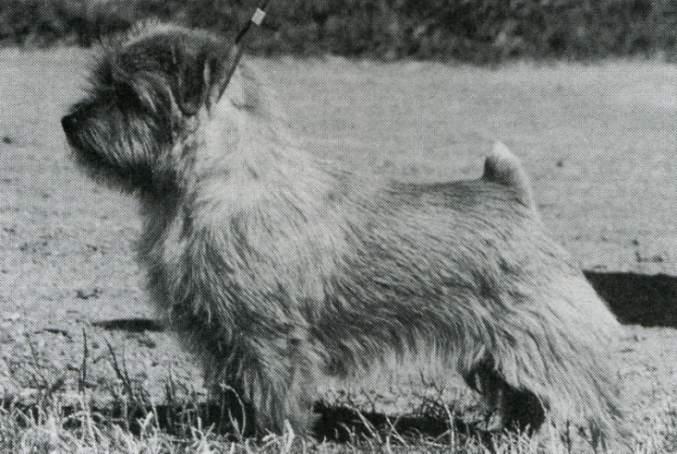 Norfolk Terrier: Gregarths Goldfinch