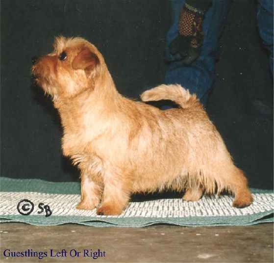 Norfolk Terrier: Guestlings Left Or Right