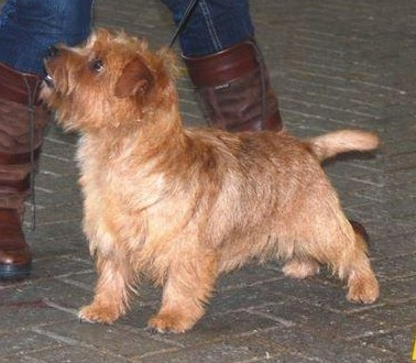 Norfolk Terrier: Guestlings Fair Play