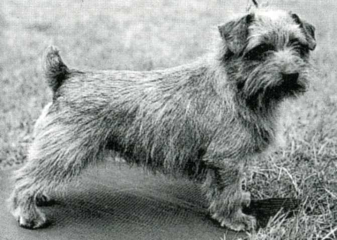 Norfolk Terrier: Ickworth Ready