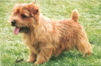 Norfolk Terrier: Jaeva Duty Free