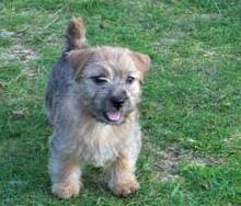 Norfolk Terrier: Klintagummans Iris