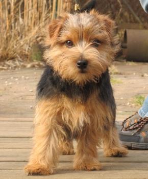 Norfolk Terrier: Klintagummans Cool Crystal