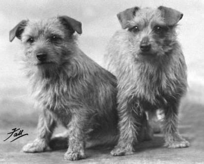 Norfolk Terrier: Little Jane