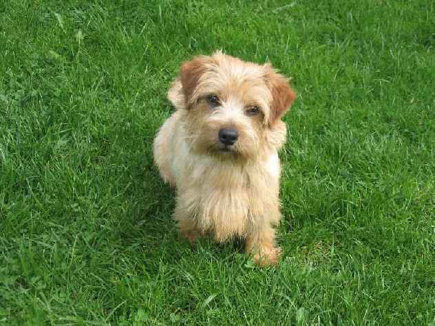 Norfolk Terrier: Lobeiro's Qissed By an Angel