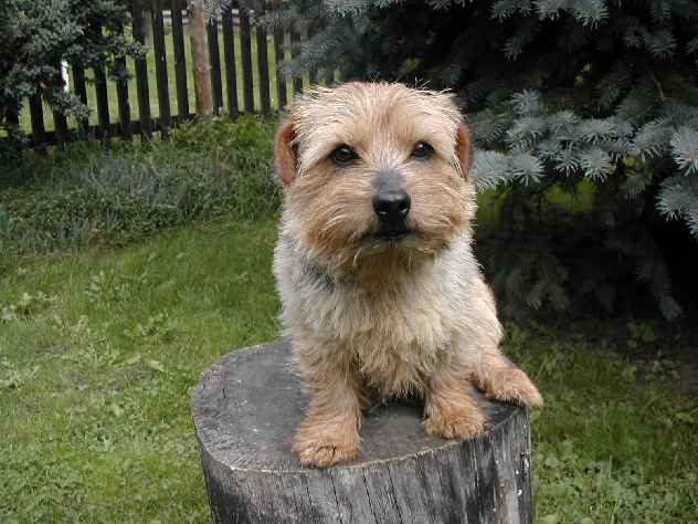 Norfolk Terrier: Lobeiro's Super Swede