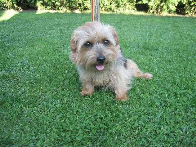 Norfolk Terrier: Lucci of Chagy od Spešovské skály