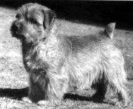 Norfolk Terrier: Nanfan Caper