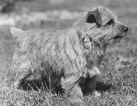 Norfolk Terrier: Nanfan Heckle