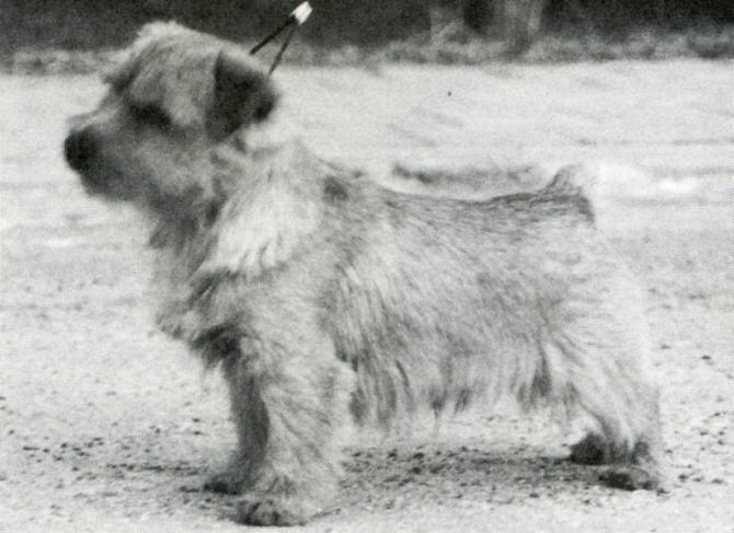 Norfolk Terrier: Nanfan Joystick
