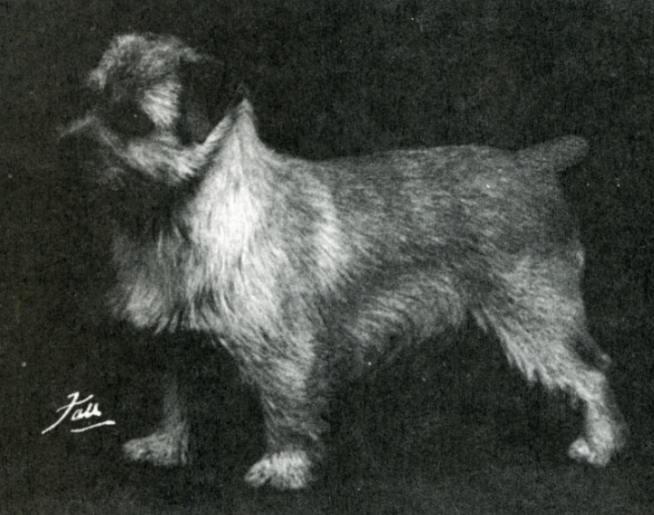 Norfolk Terrier: Nanfan Nimbus