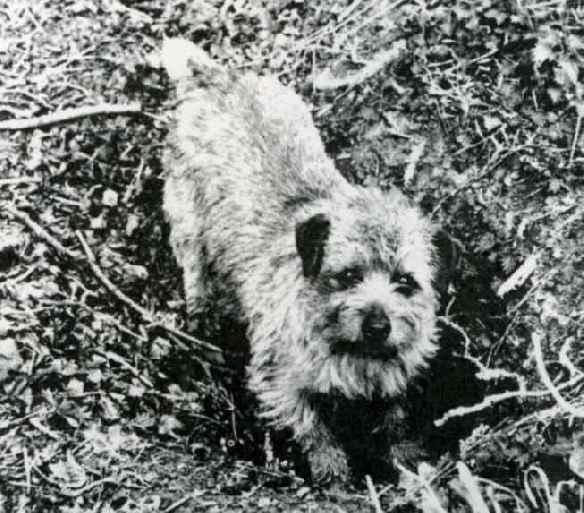 Norfolk Terrier: Nanfan Ninety