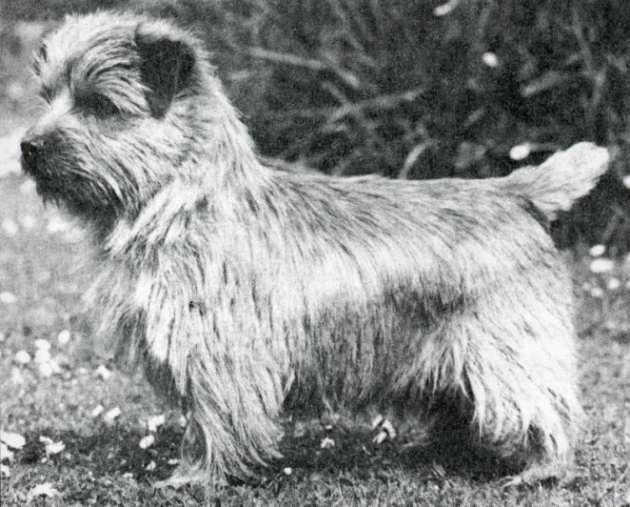 Norfolk Terrier: Nanfan Nobleman