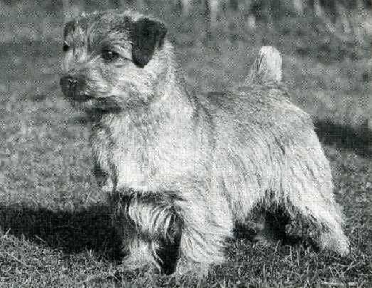 Norfolk Terrier: Nanfan Sweet Potato