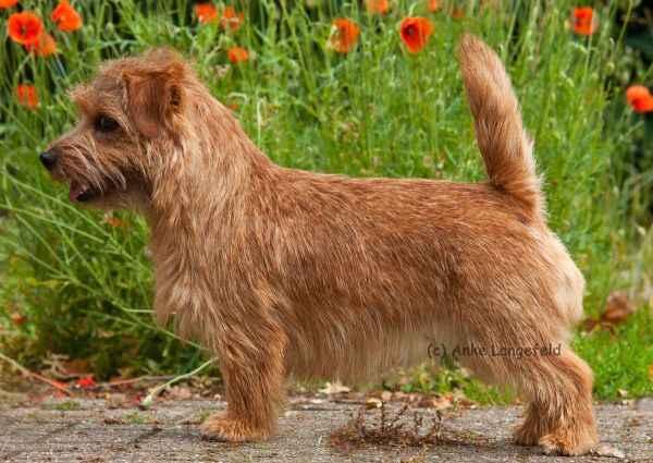 Norfolk Terrier: Peanuts Batida de Coco