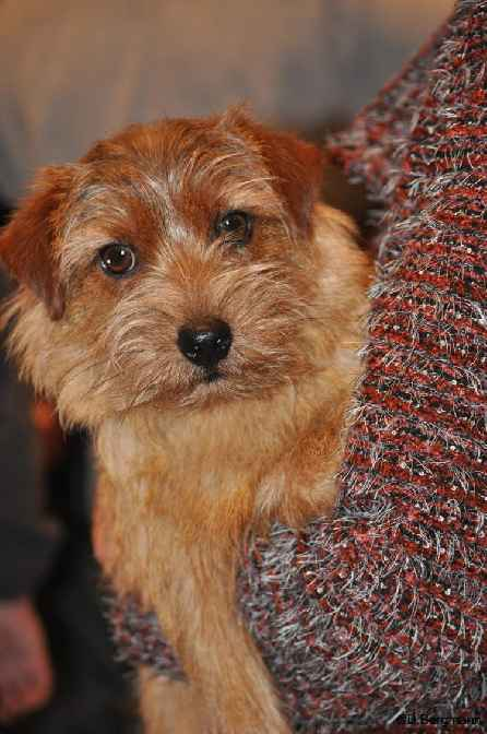 Norfolk Terrier: Peanuts Keep on runing