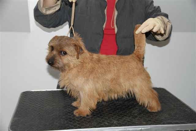 Norfolk Terrier: Poly of Kimi od Spešovské skály