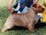 Norfolk Terrier: Porrigito Claypot