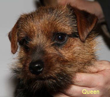 Norfolk Terrier: Queen of Lucci od Spešovské skály