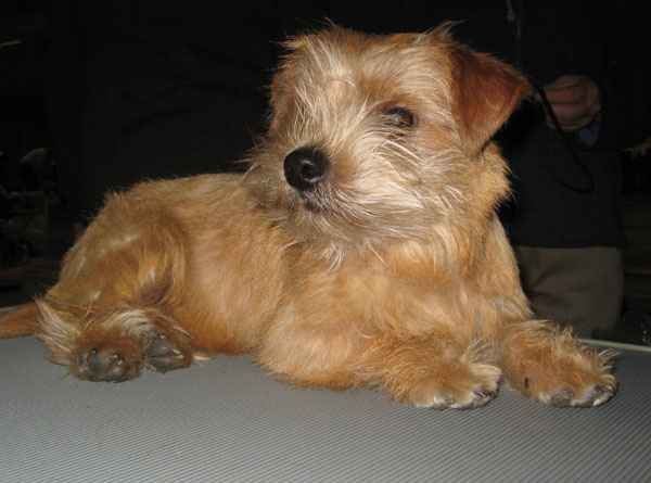 Norfolk Terrier: Rackartuss Flower Power