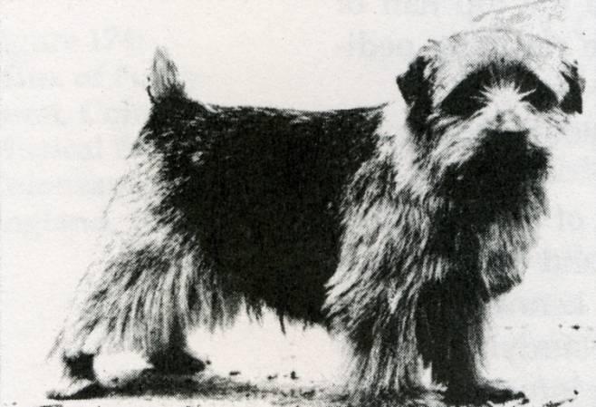 Norfolk Terrier: Ragus Blacksmith