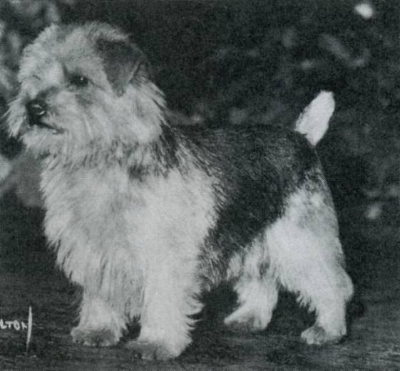 Norfolk Terrier: Ragus Boy Blue