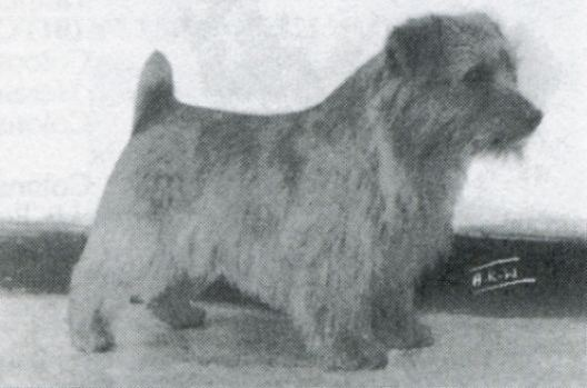 Norfolk Terrier: Ragus Browned Off