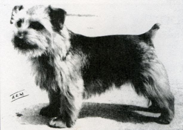 Norfolk Terrier: Ragus Whipcord