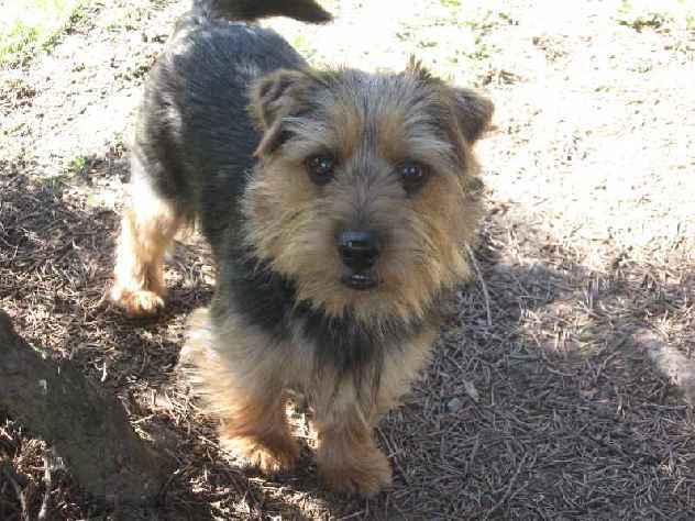 Norfolk Terrier: Reyka of Kimi od Spešovské skály