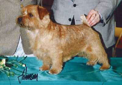 Norfolk Terrier: Rosara Love me do at Jaeva