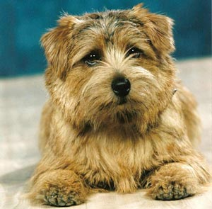 Norfolk Terrier: Sunrose Let's Twist Again