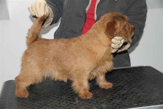 Norfolk Terrier: Terravirtus Boogie Woogie