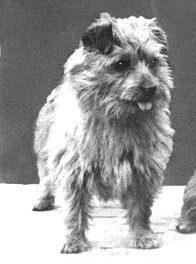 Norfolk Terrier: Tiny Tim of Biffin