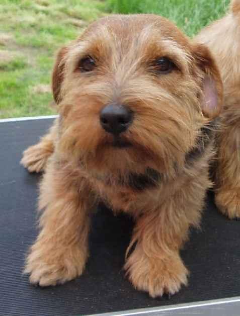 Norfolk Terrier: vanity fair of anglian heights