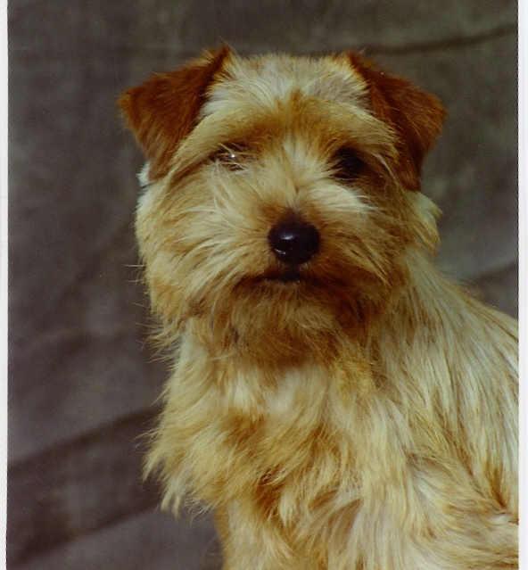 Norfolk Terrier: Watersheen's Fire My Fire