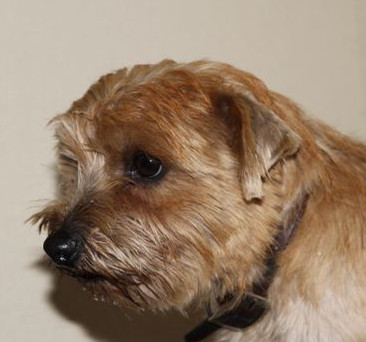 Norfolk Terrier: Yade Victis